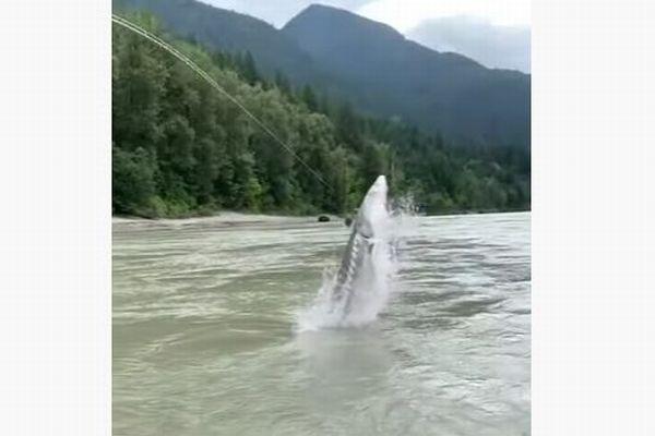 カナダの川に巨大な魚、竿にかかり水面から大ジャンプ