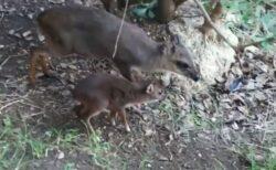 米の動物園で生まれたダイカーの赤ちゃん、母親と遊ぶ姿がかわいい