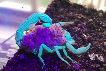 紫外線で異なる蛍光色を発するサソリ、母親は青、子供は紫