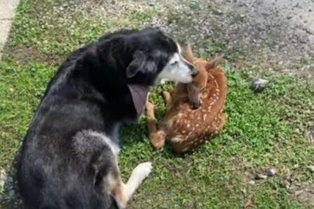 病気で弱っている子鹿に遭遇したワンコ、毛づくろいをし、優しく世話をし続ける