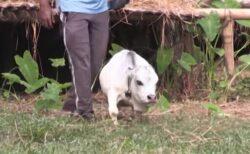 世界最小か?バングラデシュにいる小さな牛に注目が集まる