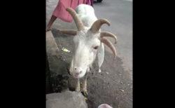 自由の女神みたい!ナイジェリアの市場で撮影された5本角の仔羊