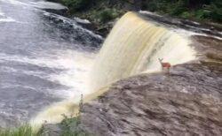 野生のシカが自ら滝に落下!その後の展開に目撃者もアンビリーバブル!
