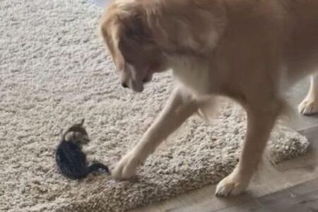 家にやってきた子猫に困惑、次第に仲良くなっていく動画に心温まる