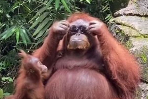 動物園で落ちたサングラスを拾い、自らかけるオランウータンの動画が話題に