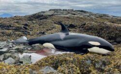 何故、こんな場所に?アラスカの岩場にシャチが残されていた!