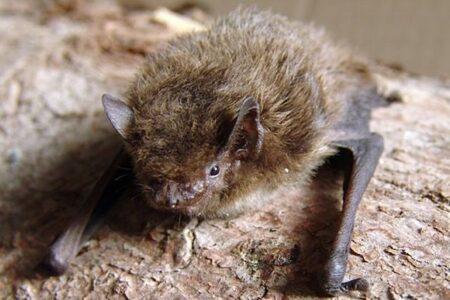 イギリスに生息していたコウモリをロシアで発見、2000km以上を移動か