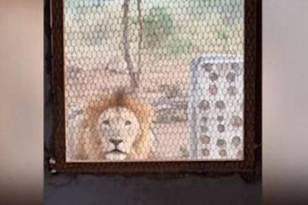 南アフリカのキャンプ地にライオン!建物の前で男性に向かって吠え続ける