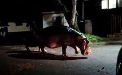 南アフリカで停電の夜に怪しい影、通りに現れたのはカバの群れだった!
