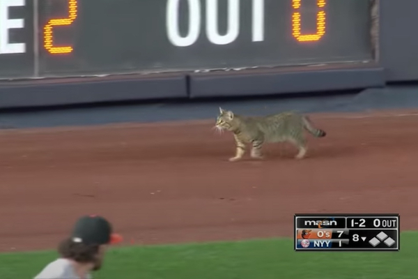 ヤンキー・スタジアムでの試合中、迷い込んだ猫が人気をさらう