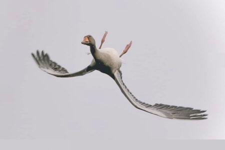 ウソでしょー!裏返しになって飛ぶ雁(がん)が撮影される