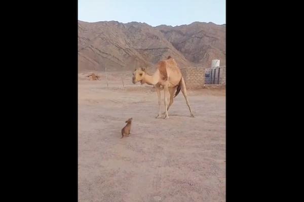 子犬がキスした相手はラクダ、可愛い動画が話題に