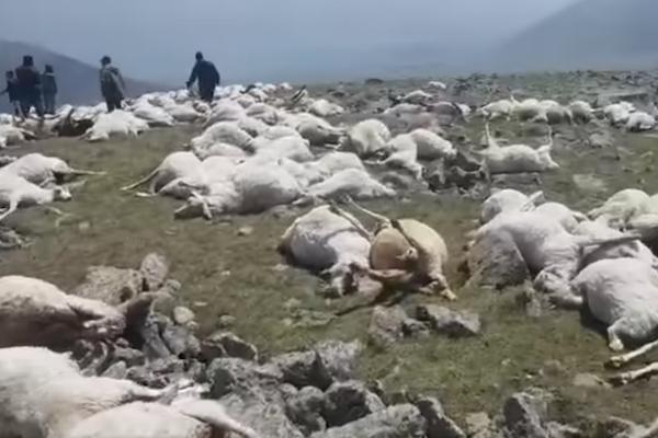 雷に打たれ、1度に500頭以上の羊死ぬ:ジョージア