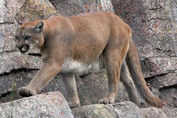 母親がマウンテンライオンに素手でパンチ、殴り続けて5歳の息子を救う