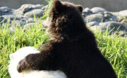 【動画】かわいすぎて閲覧注意!ホッキョクグマとグリズリーの子熊が大親友に