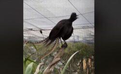 赤ちゃんの泣き声にそっくり、豪の動物園にいる鳥のモノ真似が名人級!