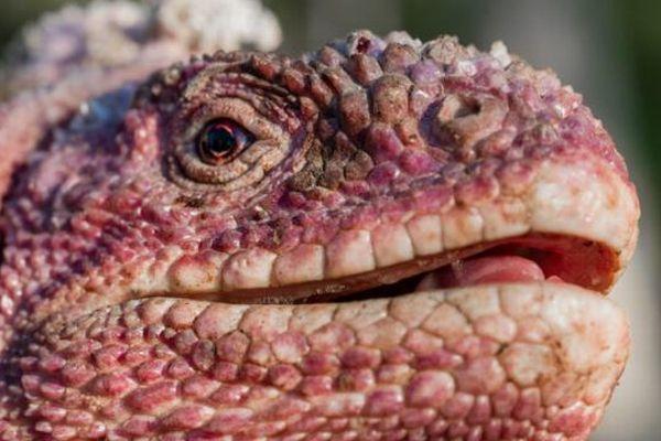 ガラパゴスに生息するピンク色のイグアナ、調査が行われ53匹を特定【動画】
