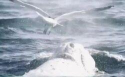 カモメがクジラでサーフィン?背中に降り立つ珍しい映像