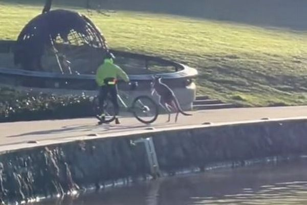サイクリストに攻撃するカンガルー、実は湖で人間に助けられていた?