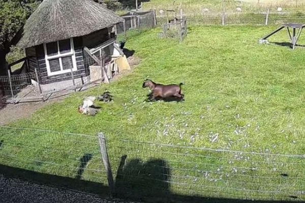 仲間を救え!雌鶏を襲うオオタカに対し、ヤギと雄鶏が果敢に攻撃