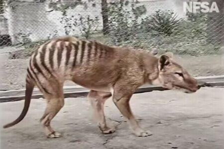 幻の動物「タスマニア・タイガー」が4Kのカラー映像で蘇る