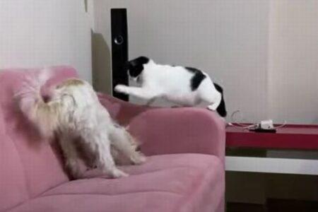 「やめなさい!」ソファを引っ掻くワンコを叱るニャンコの動画