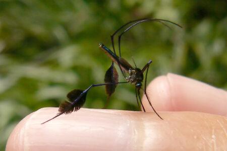 世界一美しい蚊、南米に生息し、光で体の色を変化させる