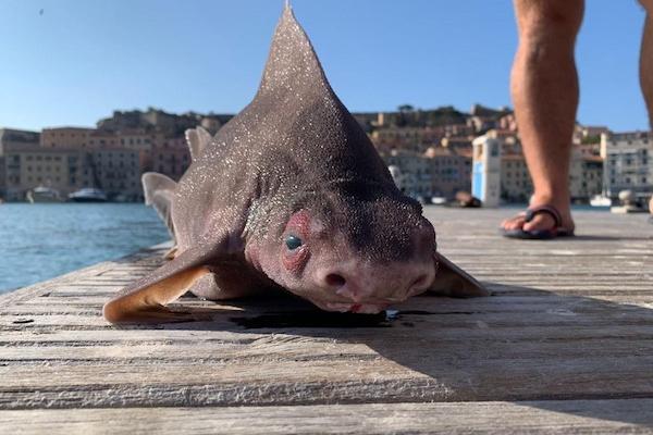 地中海で見つかった豚顔のサメがヘン