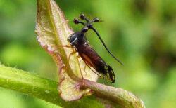 最もエイリアンぽい昆虫、ブラジルツノゼミが奇怪