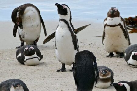 南アフリカで、63羽のペンギンがハチの群れに襲われ死亡