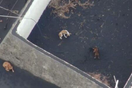 ラ・パルマ島で溶岩に囲まれた敷地内に複数の犬を発見、ドローンで食べ物を運ぶ