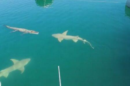 ワニに2匹のサメが接近、ちょっとドキドキする映像