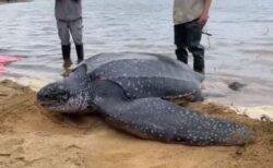 体重270kgもある巨大なカメを保護、無事海へ帰る【アメリカ】