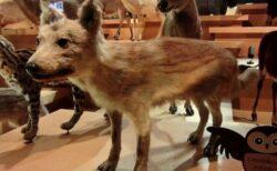 ニホンオオカミは犬により近い種だった可能性、現代のアジアの犬も受け継ぐ