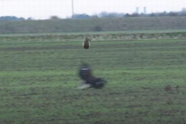 恐るべき跳躍力、ワシの攻撃を交わすウサギが見事