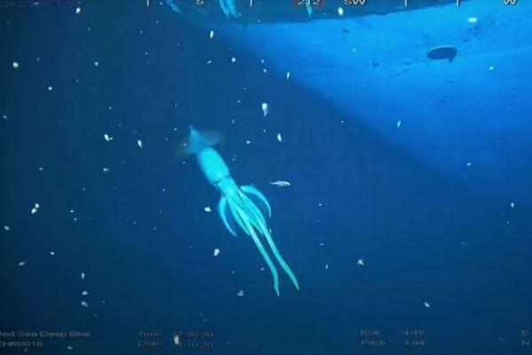紅海の海底で探索中に巨大化したイカを発見、撮影に成功!