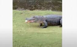 おーい、返してくれ!ワニがゴルフボールを食べて池の中へ