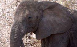 長年の密猟の影響で進化?牙のないアフリカゾウに遺伝的変異が起きていた